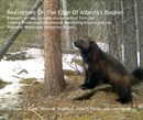 Wolverines On The Edge Of Alberta's Rockies